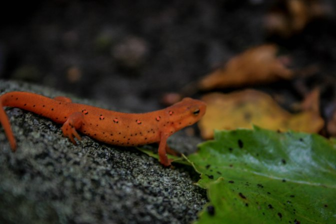 Eastern newt at Tripod Rock. New Jersey 2009